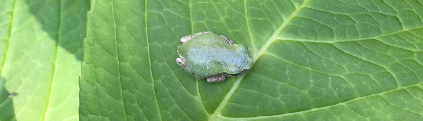 A Spring Peeper on a Hydrangea leaf.