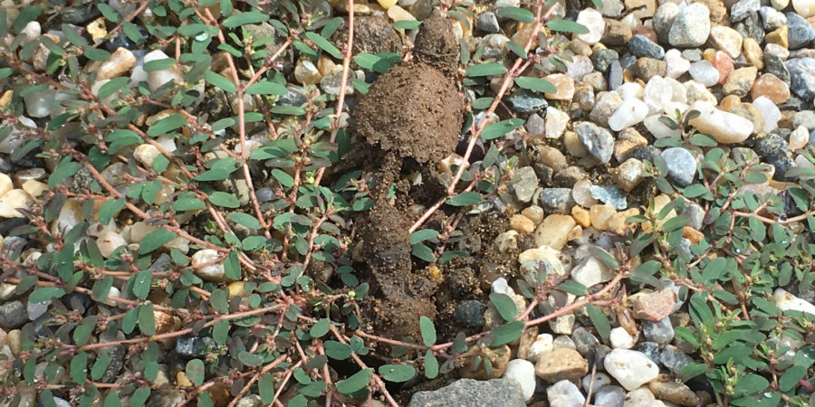 Snapping Turtle hatchings emerge from their nest one by one.