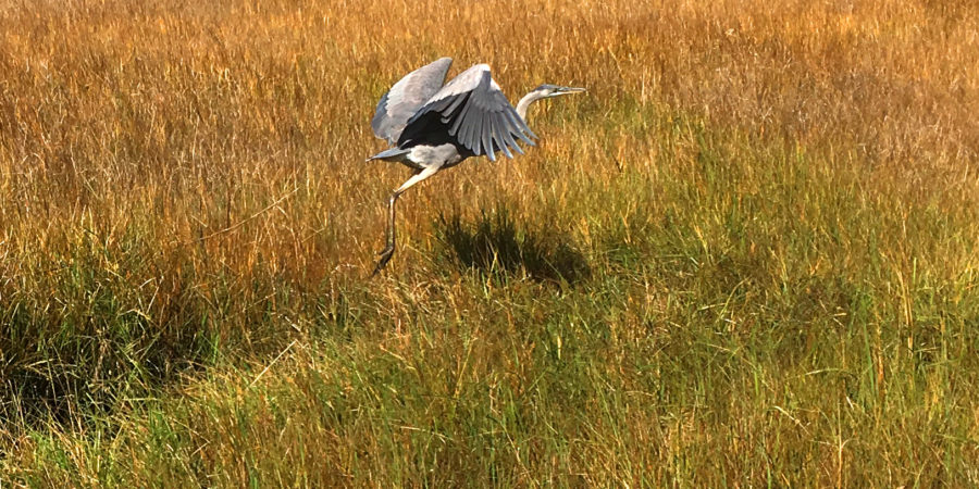 A flying Great Blue Heron