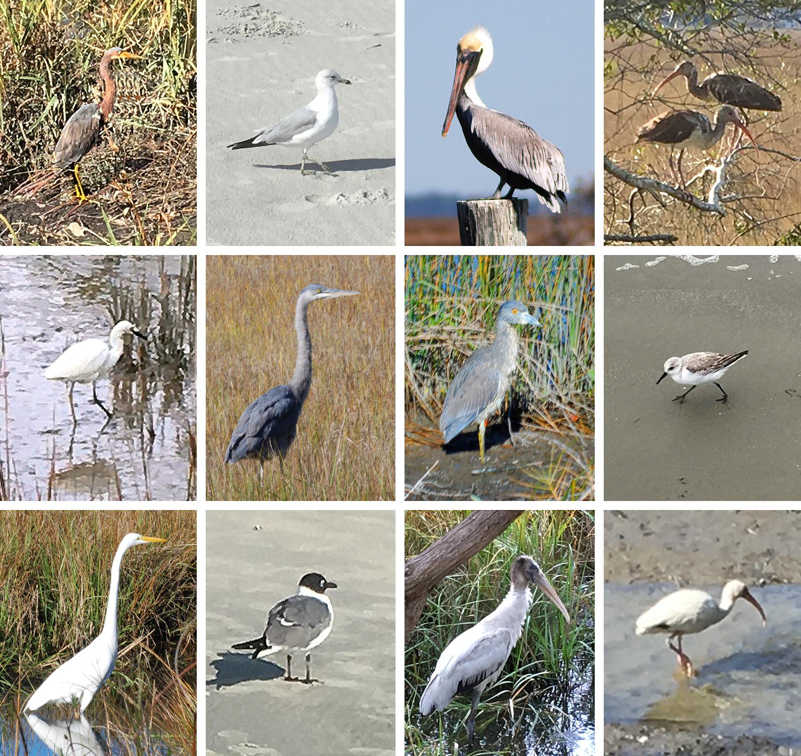 Coastal Georgia Birds