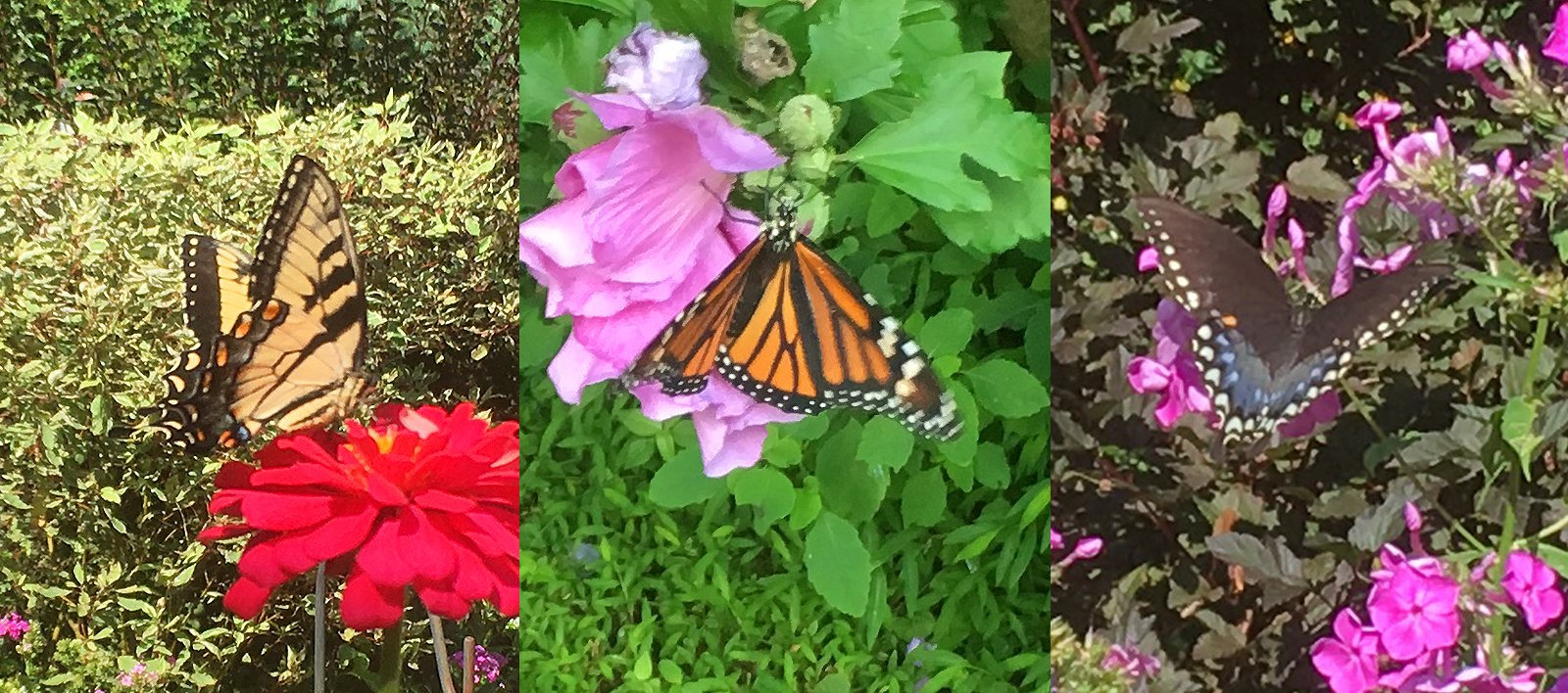 Three Butterfly Pollinators